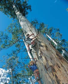 Dave Evans Bicentennial Tree - Stayed