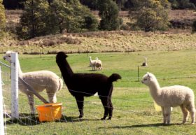 Maydena Country Cabins Accommodation  Alpaca Stud - Stayed