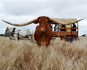 Texas Longhorn Wagon Tours and Safaris - Stayed